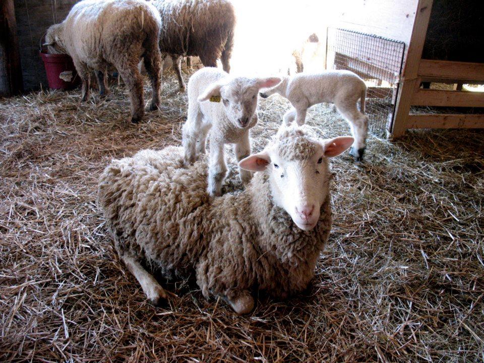 Lambing Continues