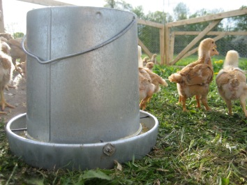 Chicks & Feeder