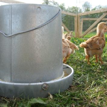 Chicks & Feeder
