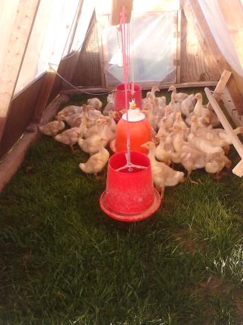 Goslings in their house