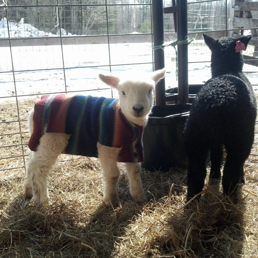 Pancho and Leftie remain two of the cutest lambs on the farm.