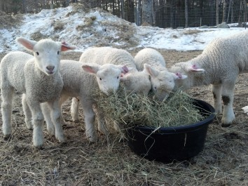 Breakfast meeting over hay.
