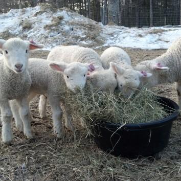 Breakfast meeting over hay.