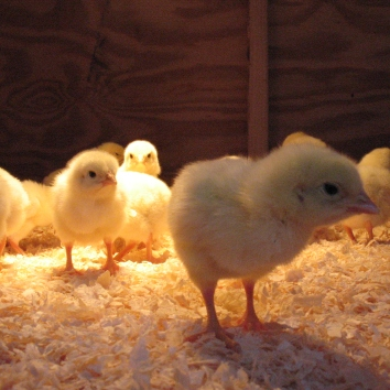Our first batch of Cornish Cross chicks.