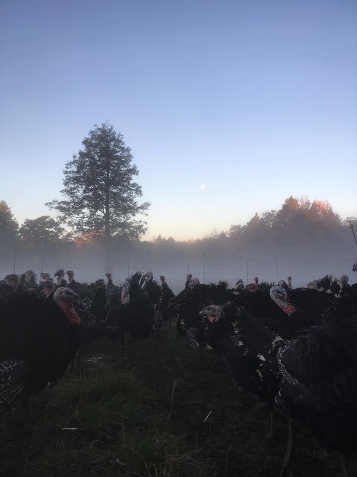 moonlit-turkeys