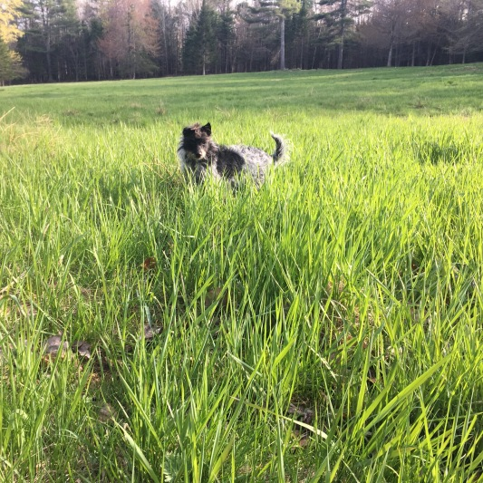 Rye is monitoring grass growth on a daily basis.